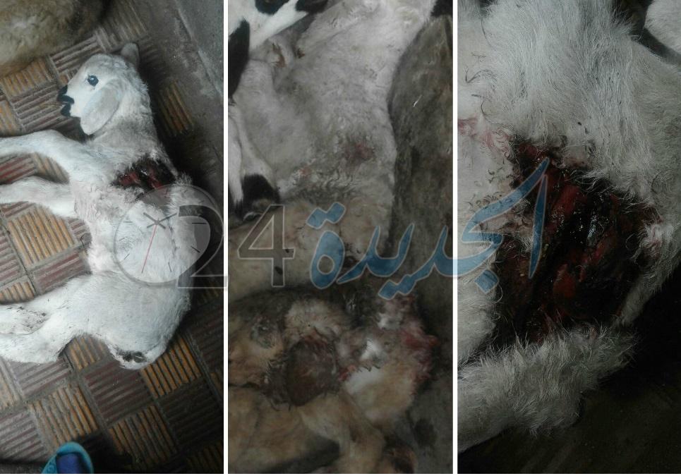 بالصور.. قطيع من الكلاب الضالة يهاجم منزلا بالجديدة ويجهز على 10 خرفان