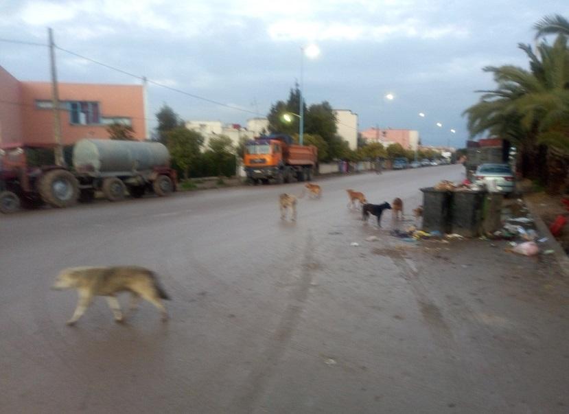 الكلاب الضالة تجتاح مدينة الزمامرة وتهدد الساكنة