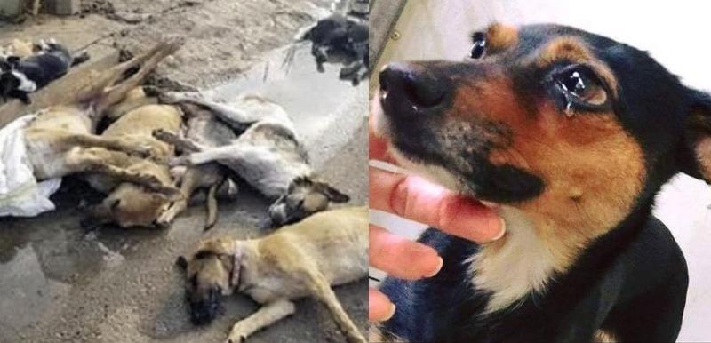 الوليدية : السلطات تستعد لاستقال صيف جديد بإبادة 53 كلبا ضالا