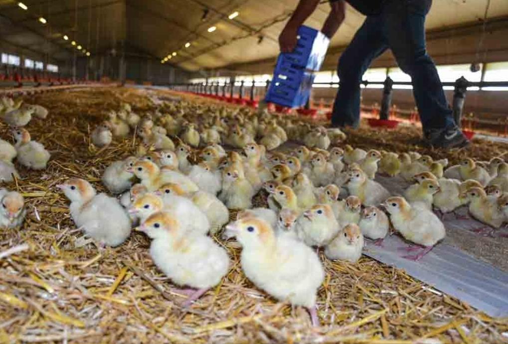 سكان دوارير بجماعة أولاد حمدان يعترضون على بناء إسطبلات لتربية وإنتاج الدواجن