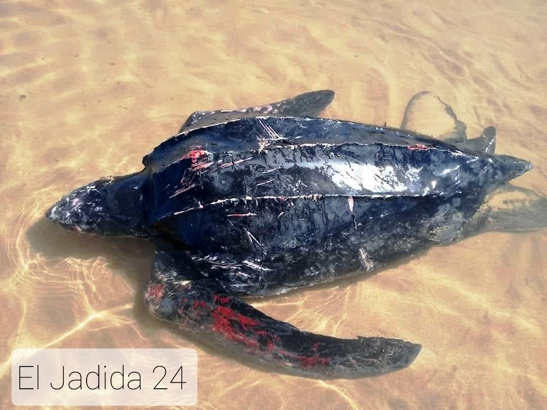 الوليدية: البحر يلفظ سلحفاة حية ضخمة على شاطئ البحيرة
