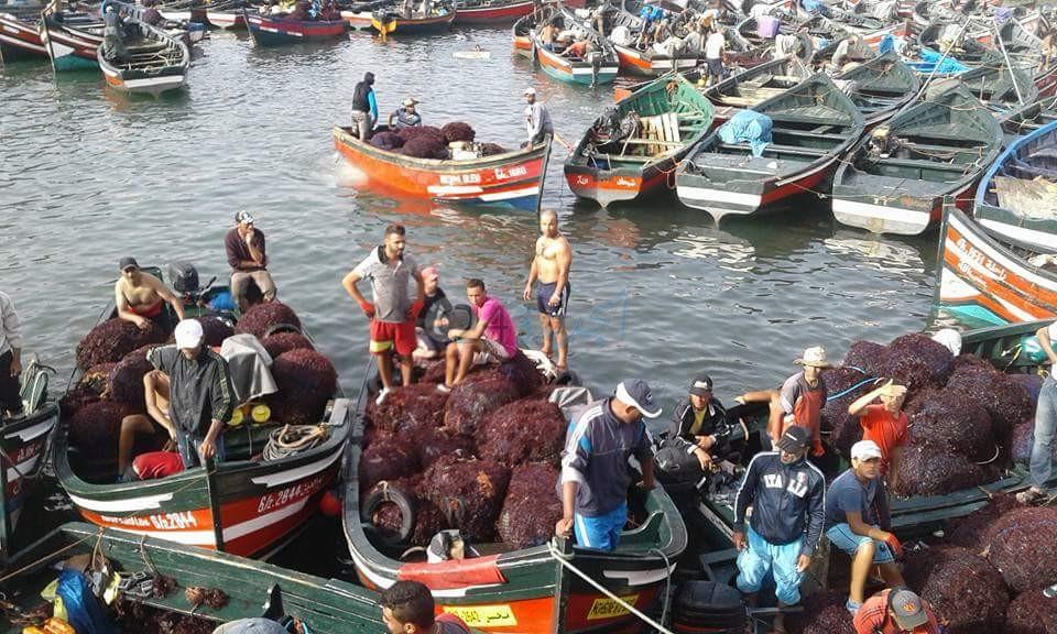 مهنيون في قطاع الطحالب البحرية بإقليم الجديدة يشيدون بموسم استثنائي رغم ظروف الجائحة