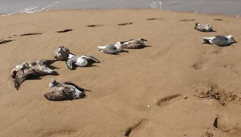 من وجهة نظر علمية.. لماذا تموت طيور النوارس بشاطئ الجديدة ؟!